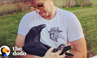 This Raven is In Love With the Human Who Saved Him