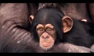 Stepping Into the World - Chimp Retirement!