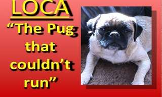 The Singing Pug That Cannot Run - Hilarious!