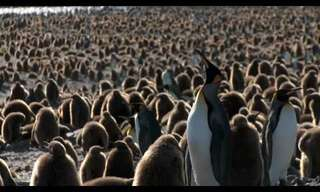 A Sea of Penguins...