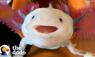 Who Knew It Was Possible For An Axolotl to Be So Cute!