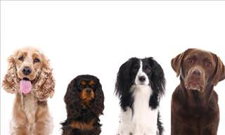 QUIZ: Can You Identify These Dog Breeds?