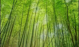 The Ever-Green Bamboo Forests - Beautiful!