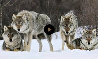 How Wolves Bring Back Life