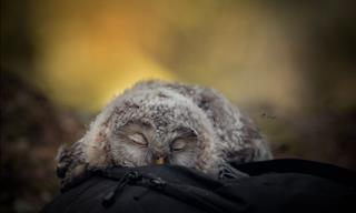 Have You Ever Seen Anything Cuter Thank a Sleeping Owlet?