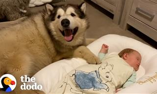 Giant Dog Just Can't Enough of His Human Baby Sister