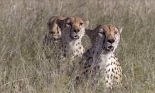 3 Cheetahs Take on an Ostrich