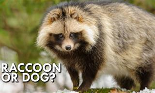 This Japanese 'Raccoon Dog' is Such a Unique Animal!