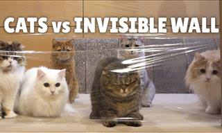 Adorable: Cats vs. The Mysterious Invisible Wall!