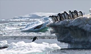 The Enormous Danger Islands Penguin Colony