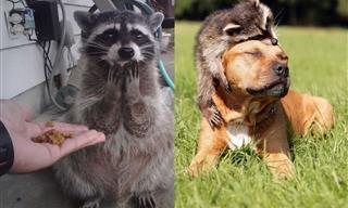20 Hilarious and Heartwarming Raccoon Photos