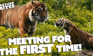 Watch: Tiger Dad Meets His Daughter for the First Time
