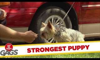 Prank: The Strongest Puppy in the World