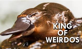 Nature Lesson: Facts about the Weird & Wonderful Platypus
