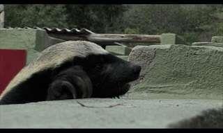 This Honey Badger is a Regular Houdini!