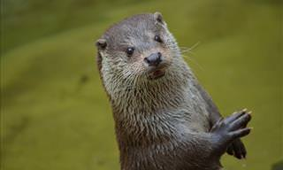 Everything You Need to Know about Otters