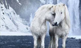 Icelandic Horses Straight from a Fairytale