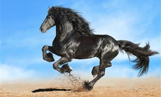 The Gallant Friesian Horse