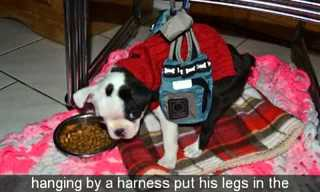 Mick the Pup's Journey to Walk!