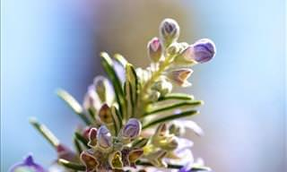 The Smell of Rosemary Can Help Improve Your Memory