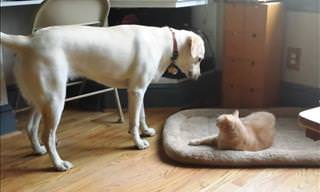 Funny Compilation of Cats Stealing Dog Beds!