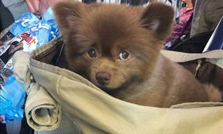 This Cute Pomeranian Looks Just Like a Baby Bear!