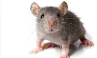 Tips to Humanely Get Rid of a Mouse