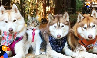 Cat Boss: This Cute Feline Is the Leader of a Husky Pack
