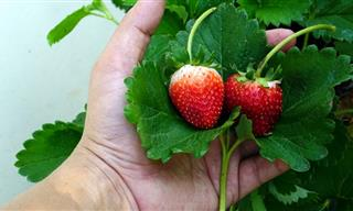 The Important Health Benefits of Strawberry Leaves