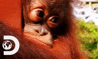 Peanut, the Baby Orangutan Trains to Return to Nature