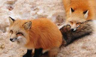 Fox Village: Is One of the Cutest Places On Earth