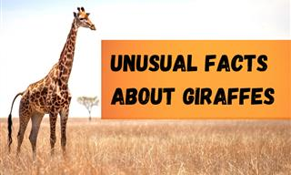 Fun Facts about the World's Tallest Mammal – The Giraffe