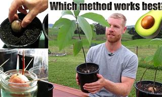 What's The BEST Way to Grow An Avocado Plant From a Seed?