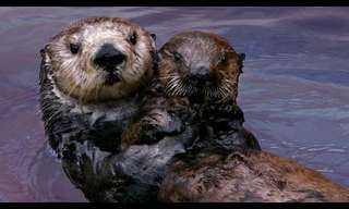 Sea Otters are Incredible