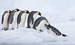 Penguin Photos and Facts