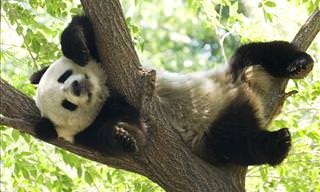 30 Cute Giant Panda Facts