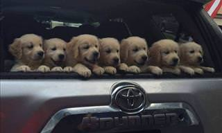 The Cutest Golden Retriever Puppies You'll Ever See