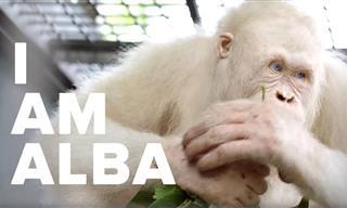 In a Borneo Rainforest, Lives the World's Most Unique Ape