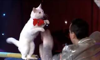 Incredible Angora Cats at the Cabaret