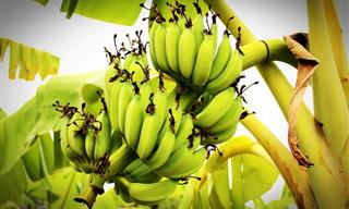Bananas Have a Dark History You Didn't Know...