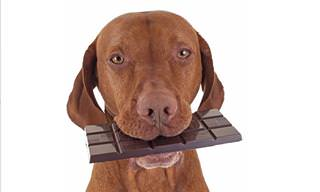 Why Dogs Should Never Eat Chocolate
