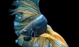 Look at These Stunning Siamese Fighting Fish