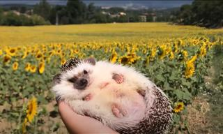 Warning: This Video Will Make You Want to Adopt a Hedgehog
