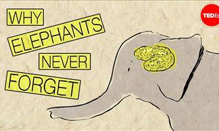 Do You Know What Makes an Elephant's Memory So Good?