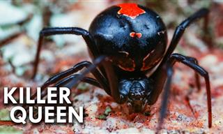 Meet the Black Widow – Nature's Amazing Killer Queen