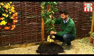 TomTato - Potato and Tomato By One Plant!