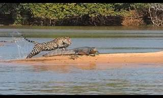 Jaguar Vs. Crocodile - Rare Nature Battle!