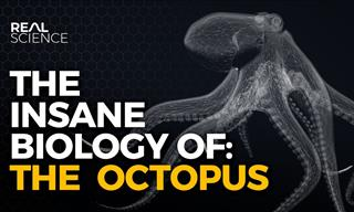 The Astounding Alien Biology of the Octopus