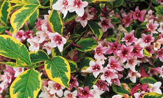 10 Most Beautiful Flowering Shrubs for your Garden