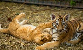 Cute and Funny Big Cat Babies